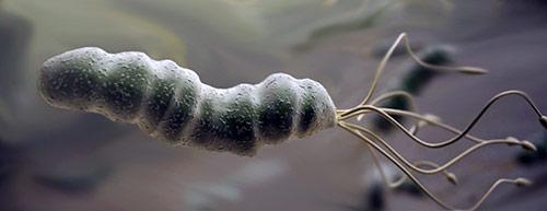 h. pylori bacterium